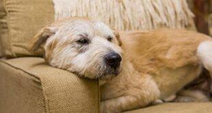 """""""SOS BragAdoção"""" apela à generosidade de famílias para acolher cães"""