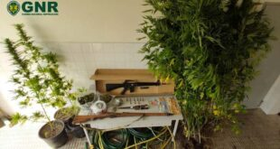 GNR detém homem de 38 anos por cultivo de cannabis em Vieira do Minho
